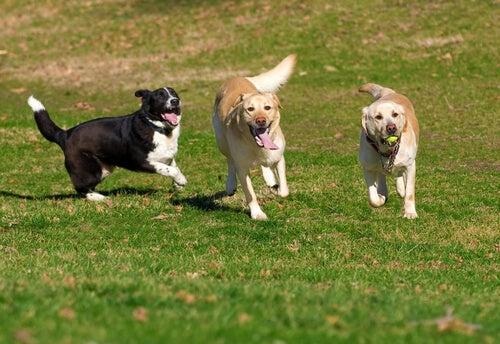 Drie loslopende honden zijn aa het spelen
