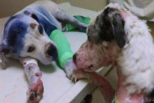 Echte vriendschap tussen mishandelde honden