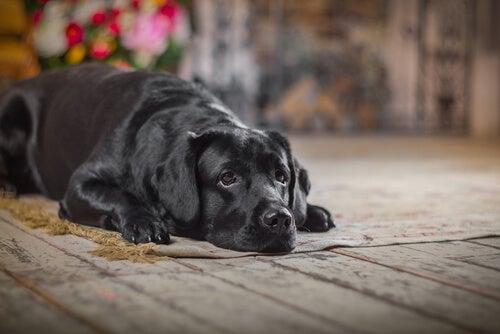 Hoe werkt ouderdom bij honden?
