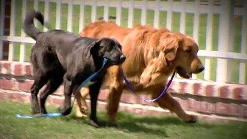 Het hartverwarmende verhaal van een blinde hond die werd gered door zijn geleidehond