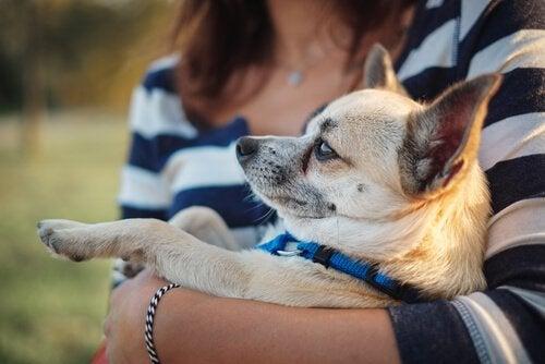 Chihuahua in iemands armen