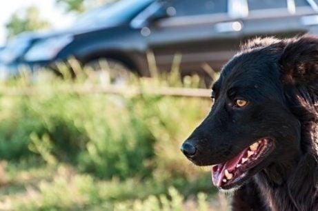 Wagenzieke hond