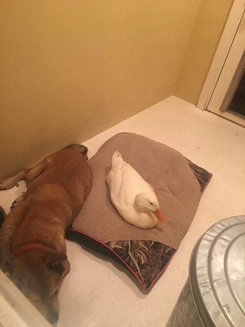 Depressieve hond ligt te slapen naast zijn nieuwe vriend