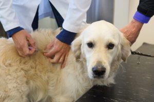 Hond die een injectie krijgt, maar wat moet een EHBO-doos voor honden bevatten?
