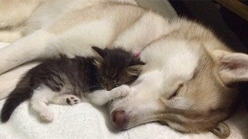 Lilo de husky adopteerde een kat