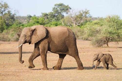 Volwassen olifant en babyolifant trekken door de savanne
