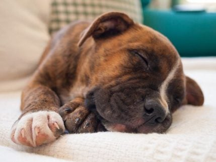Hond slaapt op de bank