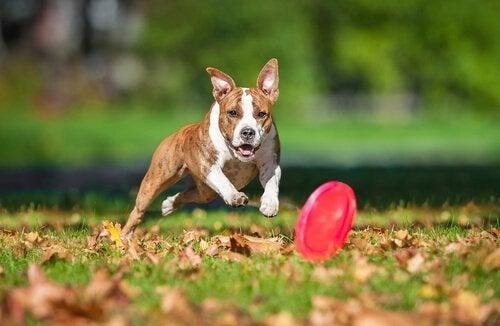 De intelligentie van je hond ontwikkelen door hem te laten spelen met een frisbee
