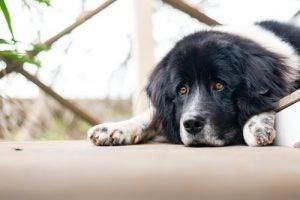 Hond die zich verveelt, en verveling kan zeer schadelijk zjin