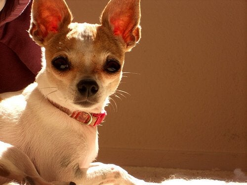 Een chihuahua die geen puppy meer is