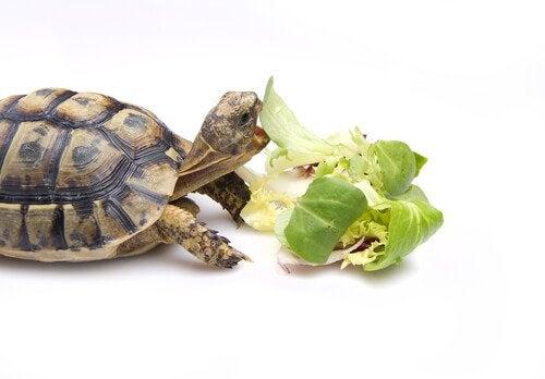 Hoe kun je het beste een schildpad voeren?