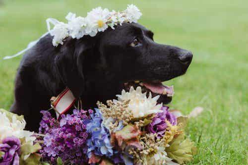 Een hond met een hersentumor overlijdt na het huwelijk van zijn baasje