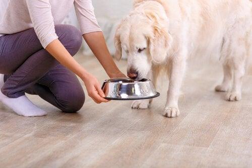 Hond die uit zijn bak eet, in plaats van dingen van de grond