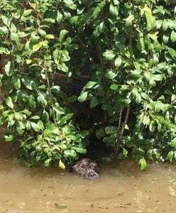 Een van de pitbulls die bijna verdronken is tijdens een overstroming