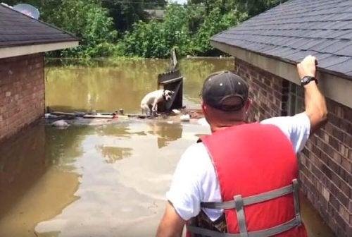 Pitbulls die worden gered tijdens een overstroming