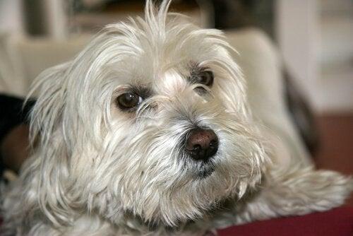 Hoe kun je de hoest van je hond verzachten?