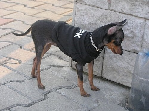 Kleinste hond