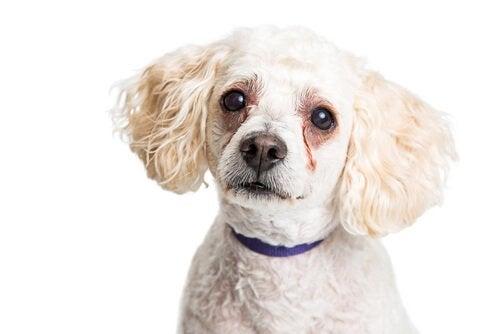 Waarom krijgen honden traanvlekken onder hun ogen?