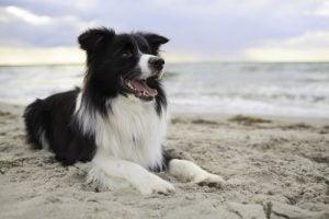Hond leren om over te steken door eerst commando's te oefenen op het strand