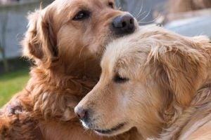 Twee honden die een hondenjaar oud zijn