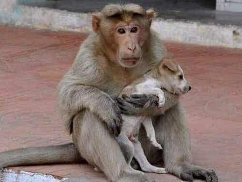De aap die een kleine zwerfhond adopteerde