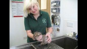 Hoe muddsey, een van de vele geredde dieren schoon wordt gemaakt