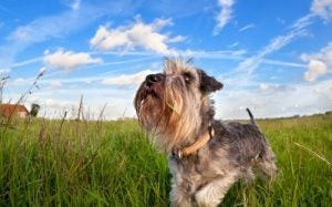 De dwergschnauzer behoort ook tot de hondenrassen die weinig verharen