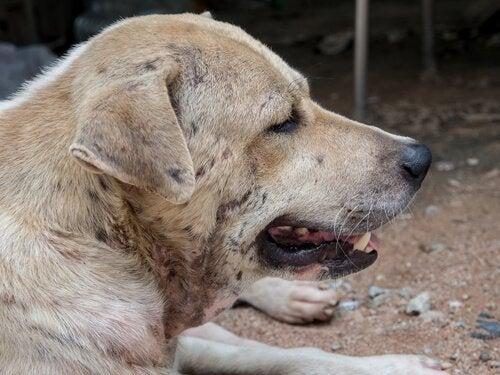 Hond met dermatitis