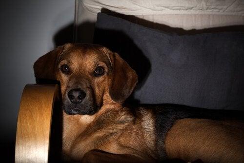 Hond kijkt televisie