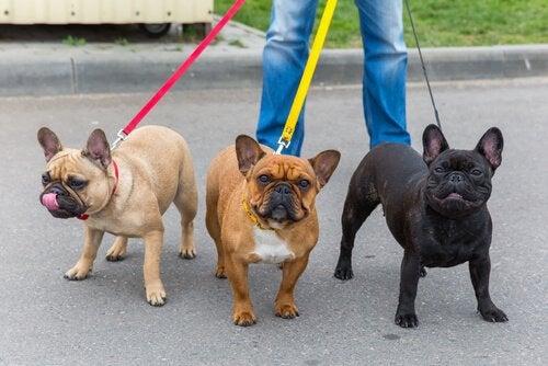 Drie honden aan de lijn