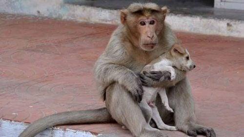 Mama-aap zorgt voor puppy