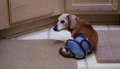 Ontmoet de vrouw die 30 verlaten, oudere honden verzorgt