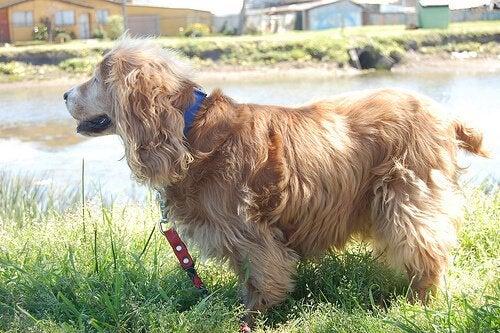 Hoe kun je je hond aan de lijn leren te lopen?