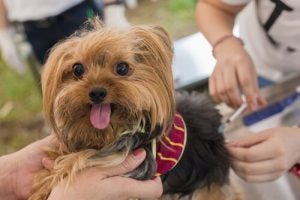 Hondje dat inentingen krijgt