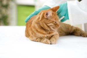 Gezonde kat, maar wat zijn de gevaarlijkste ziektes voor huisdieren