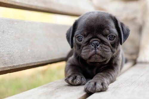 Een zwarte puppy gekocht in een van de vele puppyfabrieken