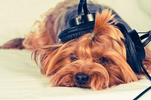 Hond met een koptelefoon op