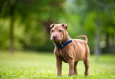 Rimpelige hond in het gras
