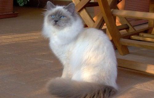 De Heilige Birmaan. Een vriendelijke kat!