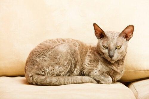 De oudste kattenrassen: Egyptische mau