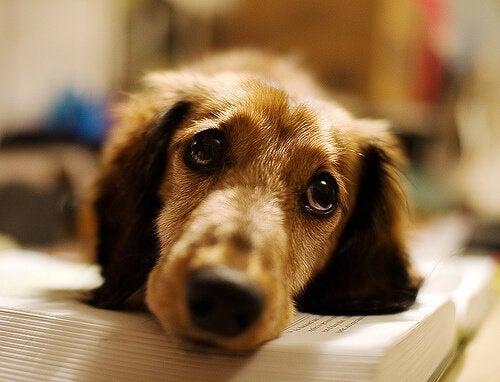 Epileptische hond die droevig kijkt