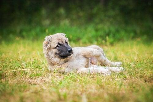 Hond ligt in gras