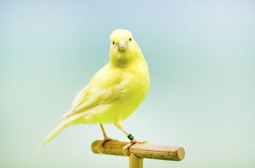 Gele kanarie die op een stokje zit