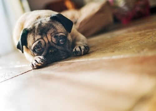 Droevige hond