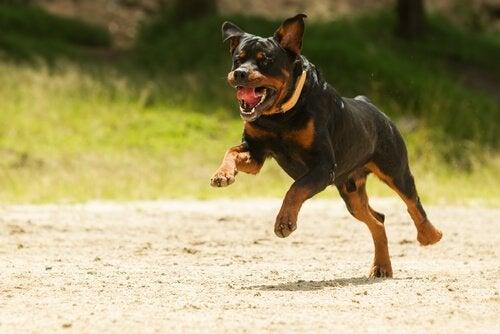 Een rennende potentieel gevaarlijke hond