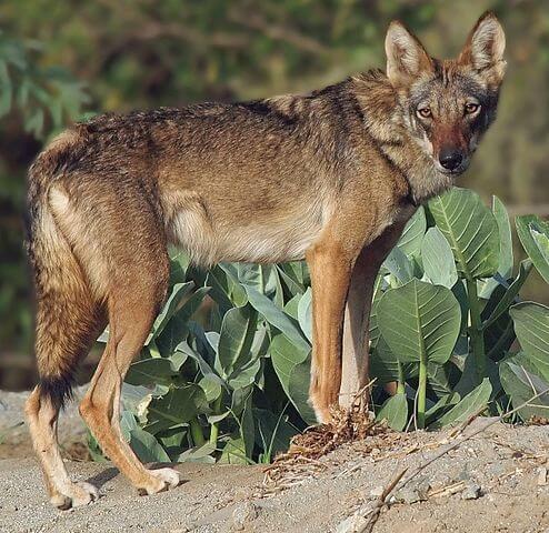 Een wolf in een droog landschap