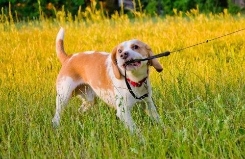Hond bijt lijn