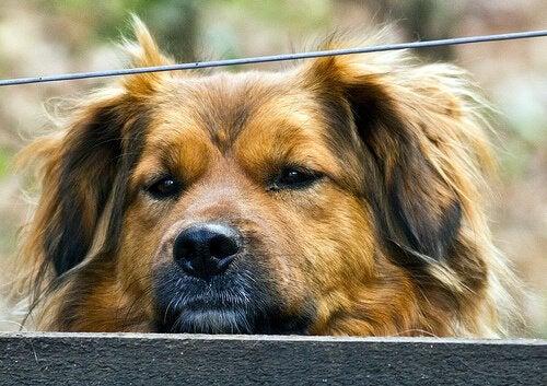 Hepatitis bij honden: oorzaken, symptomen en behandeling