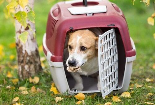 Een kleine hond staat op het punt zijn reismand te verlaten