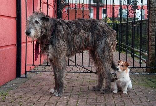 Ierse wolfshond naast een kleinere hond